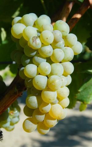 Grappe Sauvignon blanc